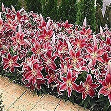 VISTARIC 2ST Gladiolen Zwiebeln, Gladiole Blume (Nicht Gladiolen Samen) Schöne Blumenzwiebeln Symbolisiert Nostalgie, Hausgarten Pflanze Bonsai 16