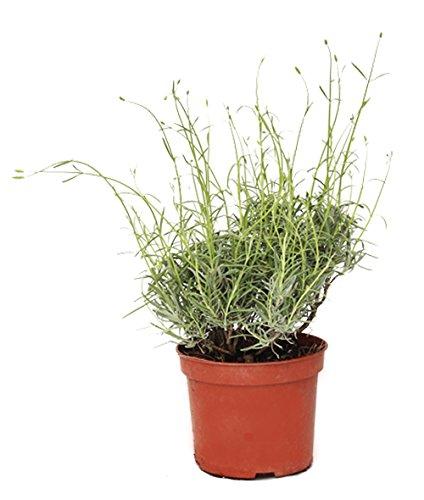 Outlet Garden - Lavanda - Lavandula. Planta Aromática, Altura: 30 Centimetros Aproximado, Contenedor: 14 Cm. Envios Solo Peninsula