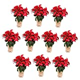 Planta Navidad - PACK 10 Plantas de Navidad - Flor de pascua - Poinsettia - Altura 55 cm - Planta natural - Envío Gratis
