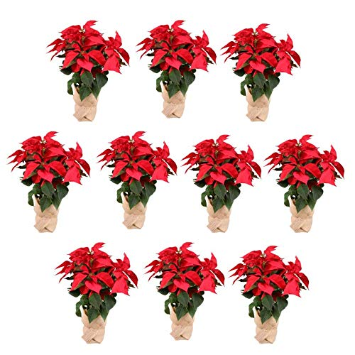 Planta Navidad - PACK 10 Plantas de Navidad - Flor de pascua