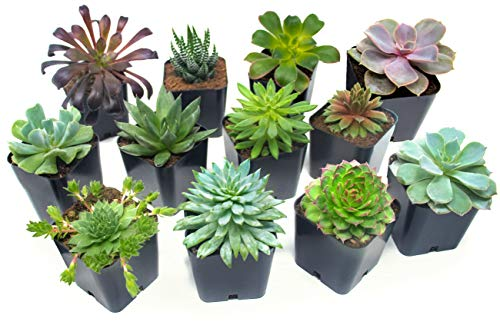 Succulent Plants 12 Pack Fully Rooted in Planter Pots with Soil | Real Live Potted Succulents / Unique Indoor Cactus Decor by Plants for Pets