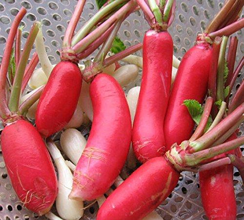 Pékin radis, graines de légumes rouges radis de jardin, Raphanus sativus environ 50 particules