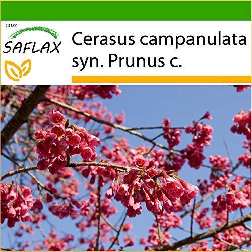 SAFLAX - Cerezo ácido - 10 semillas - Con sustrato estéril para cultivo - Cerasus campanulata