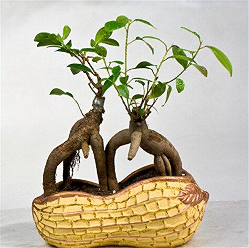 chinois rares graines d'arbres ficus microcarpa 50PCS maison bonsaï d'intérieur ginseng plantes de jardin en plein air de racines chine vente chaude