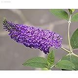 Portal Cool 435A 50Pcs Rara Farfalla Bush Buddleias Davidii Semi Disponibili pianta da Giardino