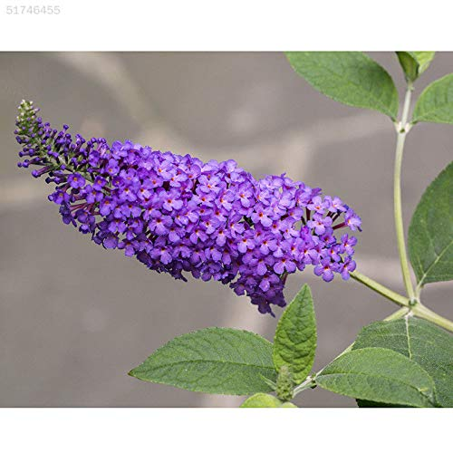 Portal Cool 435A 50Pcs Rara Farfalla Bush Buddleias Davidii Semi Disponibili pianta da Giardino