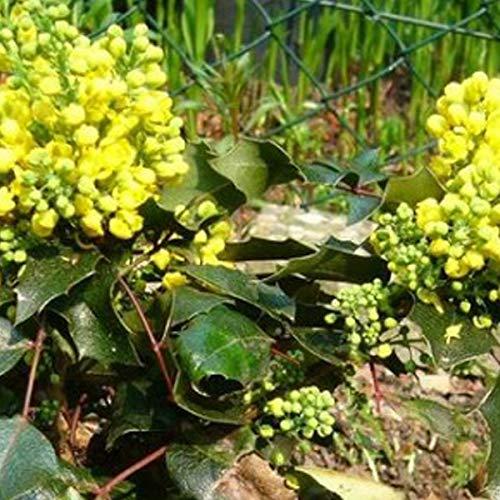 Mahonia Aquifolium 'Apollo'- Mahonia à feuilles de houx 15-20 cm en conteneur