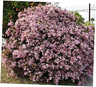 GBH 20 Fresh Seeds Indian Hawthorn Rhaphiolepis Indica - RK1610