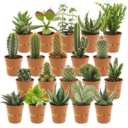 Desertworld Mini Kakteen & Sukkulenten Set - 20 Stück - Topfgröße Ø 6 cm - Pflanzenhöhe 8-15 cm