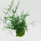 Suspension Kokedama Asparagus Plumosus stabilisé m