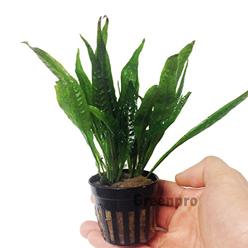 Greenpro Microsorum Pteropus Hardy Leaf Black Forest Asian Java Fern Potted Live Water Aquatic Aquarium Plants for Freshwater Fish Tank