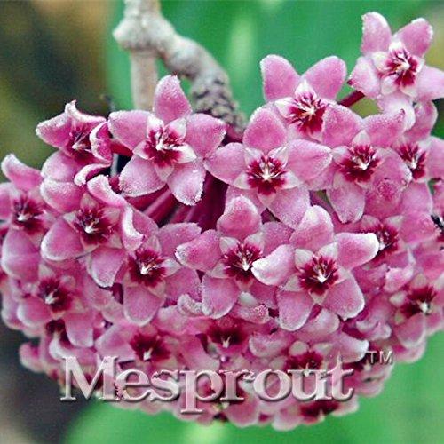 100PCS / Sac Hoya Seed kerrii (Hoya kerrii) Famille Bonsai Jardinage Fournitures Variété de Graines de fleurs