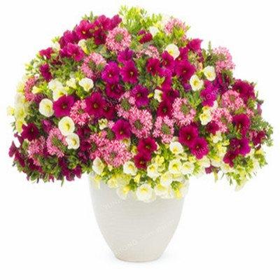 Escalade Pétunia Graines de fleurs Jardin Bonsai Balcon Petunia hybrida semences de fleurs de 20 espèces Bonsai plante facile à cultiver 100 Pcs 4
