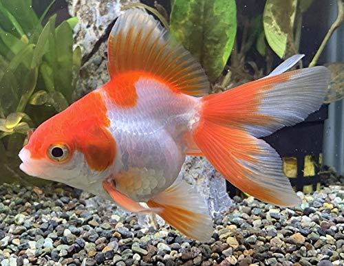 金魚 更紗琉金 SM 1匹
