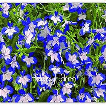 Original! 100 PC/Los Lobelia Pflanze, Bonsai Blumen Flores, Kriechgang, Bodendecker Chlorophytum Garten Landschaftsbau: 9