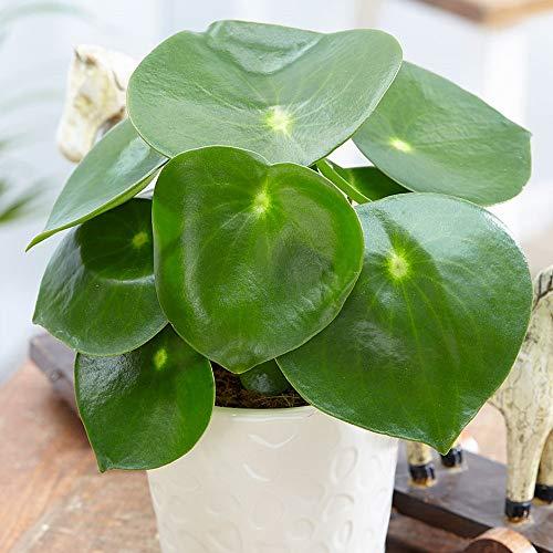 "Raindrop Chinese Money Plant - Peperomia polybotrya - 3.75"" Pot - Easy to Grow"
