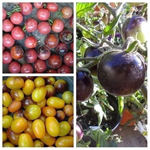 INDIGO SET: Indigo Rose, Cherry Drops, Kumquat, 60 Samen von unserer ungarischen Farm samenfest, nur organische Dünger, KEINE Pesztizide, ECHT NUR von mediterranesamenUngarn, BIO hu-öko-01