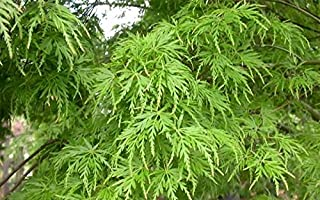 Best upright maple tree Reviews
