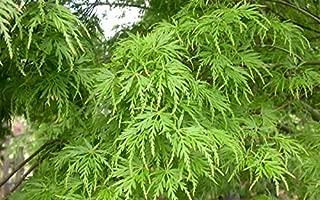 New Life Nursery & Garden / - Seiryu Upright Laceleaf Japanese Maple Tree Trade Gallon Pot Trade Gallon Pot