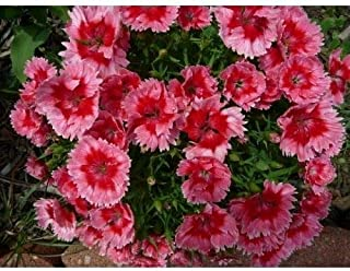 Dianthus - Super Parfait Strawberry - 6 Live Starter Plants