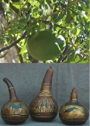 TROPICA - Afrikanische Riesenkalebasse (Lagenaria siceraria) - 15 Samen