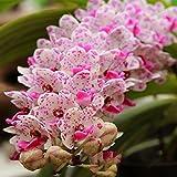 Kisshes Seedhouse - 50/100pcs Asie Graines de 'Orchidées jacinthe' papillons grainé fleur jardin bordure/massif/rocaille/jardinière/pot