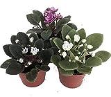 Miniature African Violet - 3 Plants/2