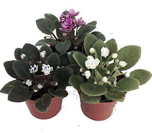 Miniature African Violet - 3 Plants/2'...