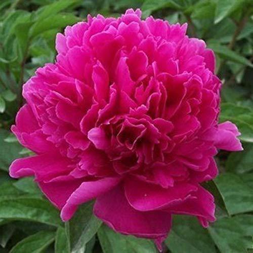 Promworld Flores Paisaje para cercas,Bloque de raíz de peonía con Bud Zhao Yuan (3 a 6 Cabezas de Brote),Maceta para Plantas de jardín/Interiores