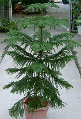 2016 50 Araucaria Samen Samen Blattpflanzen Baumsamen Pflanzen im Freien Refreshing Bonsai 49%