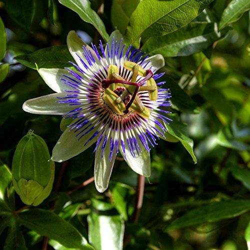 The Blue Fleur de la passion Graines - Passiflore Bleu