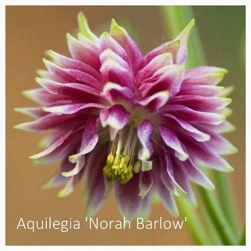 Aquilegia Norah Barlow Seeds. Columbine. RHS AGM