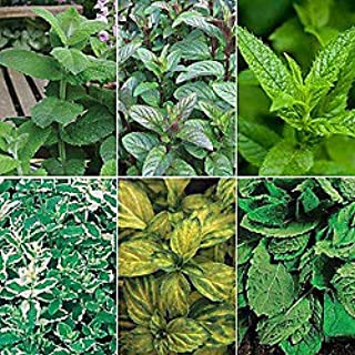 Mint Plant Collection - Herbs Plant - Organic Non-GMO - SIX (6) Live Plant Fit 4
