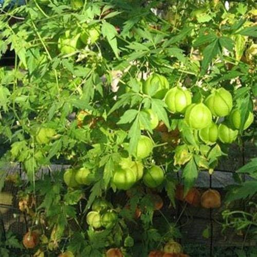 vegherb Frische 100 Seeds - Ballonrebe Vine Seeds