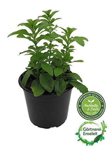 Stevia Pflanze - Süßkraut - Stevia Rebaudiana aus Nachhaltigem Anbau