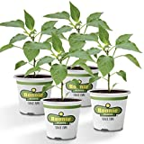 Bonnie Plants Sweet Banana Pepper - 4 Pack Live Plants, 6' Fruit Size, Great for Frying & Pickling