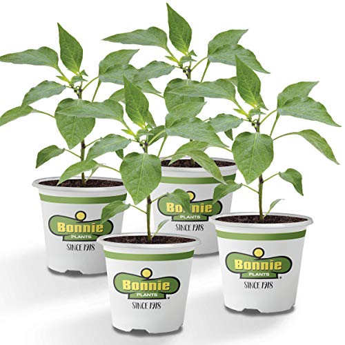 Bonnie Plants 4P2100 Green Sweet Bell Pepper, 4 Pack