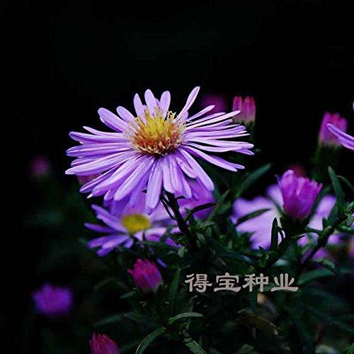 Fleurs Graines Chrysanthème en pot bleu pourpre New York Aster vivaces Résistant au froid Graines 100seeds