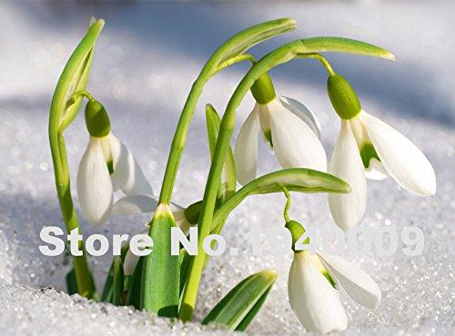 2016 Nuovo! Semi di bucaneve fiore di trasporto semi Galanthus nivalis 200PCS comune Bello giardino di congelamento piante Bonsai Balc