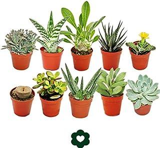 Set med 10 olika suckulentväxter – 5,5 cm kruka im set