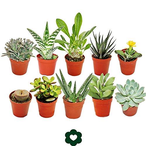 Lote de 10plantas suculentasdiferentes en macetas de 5,5 cm