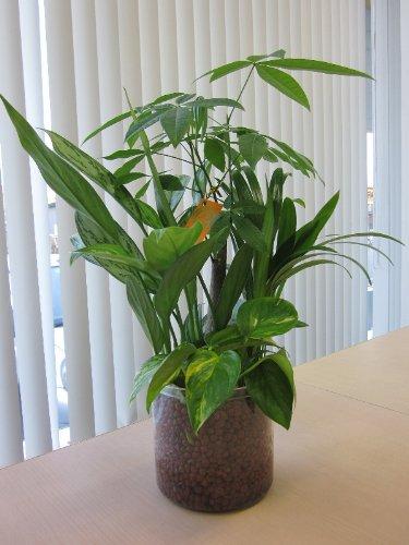 ハイドロカルチャー寄せ植え(ハイドロボール)かわいい透明プラスチック鉢に寄せ植えした観葉植物です。ハイドロボールは無菌・無臭でとても清潔なので、いろいろな場所に飾って楽しめます。また贈り物にも最適です。