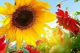 Sonnenblume Blume Natur XXL Wandbild Foto Poster P0253