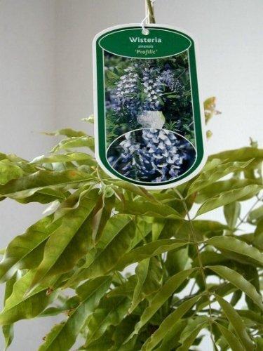 veredelter Blauregen Wisteria sinensis Profilic im 3 Liter Pflanzcontainer