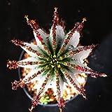 EUPHORBIA POLYGONA SNOWFLAKES CACTUS CACTI SUCCULENT REAL LIVE PLANT