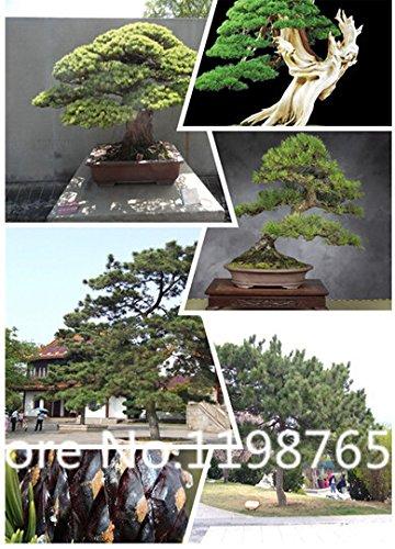 100pcs vente Livraison gratuite Hot / lot coréenne Pine, graines Pinus Evergreen jardin à la maison DIY livraison gratuite graines d'arbres de la plante