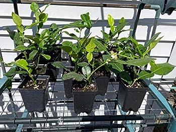 1 Kaffir Lime Tree - Citrus Hystrix - Makrut Lime Plant - No Shipping to CA AZ TX LA MS AL GA FL SC