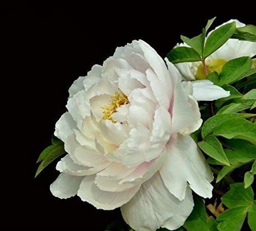 10pcs/sac de graines de pivoine, jaune, graines de fleurs de pivoine rose chinoise belles graines de bonsaï plantes en pot pour le jardin de la maison 13