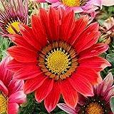 Flores Paisaje para cercas,Semillas de Flores perennes,Planta en Maceta de Flores de Cuatro Estaciones, Grano del Patio del balcón crisantemo-D_500