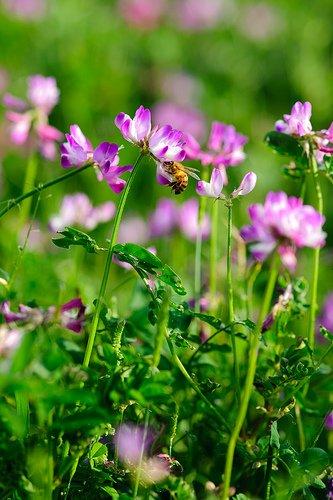 50 Tragant Astragalus Sinicus Rosa Lila Blume Bodendecker Körnerleguminosen
